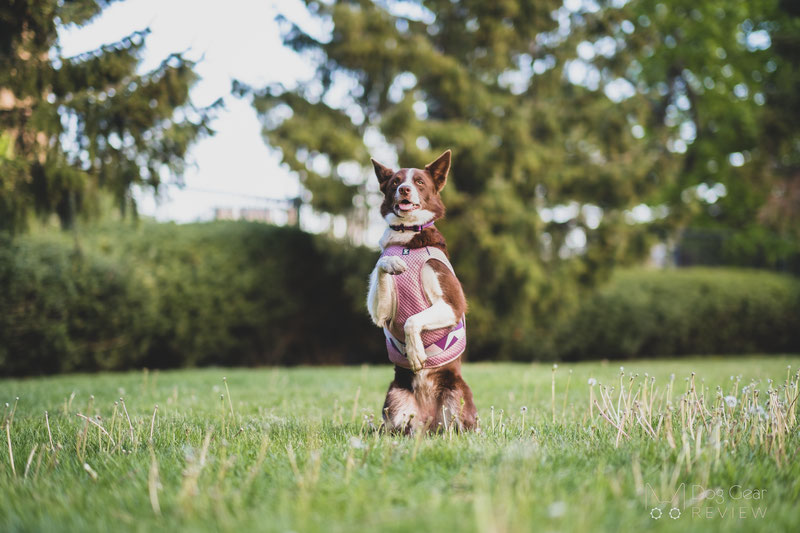 Do Dog Cooling Vests Actually Work?   Dog Gear Review