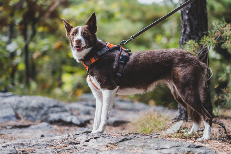 Differences in Leash Attachment Points on the Back of the Harness | Dog Gear Review