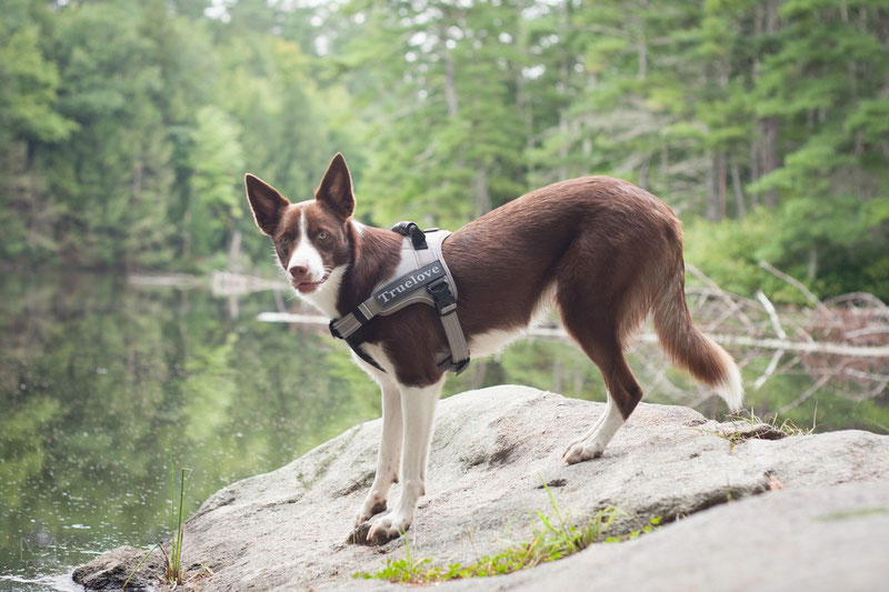 Is it true that harnesses going across the dog's shoulders restricting the movement?   Dog Gear Review