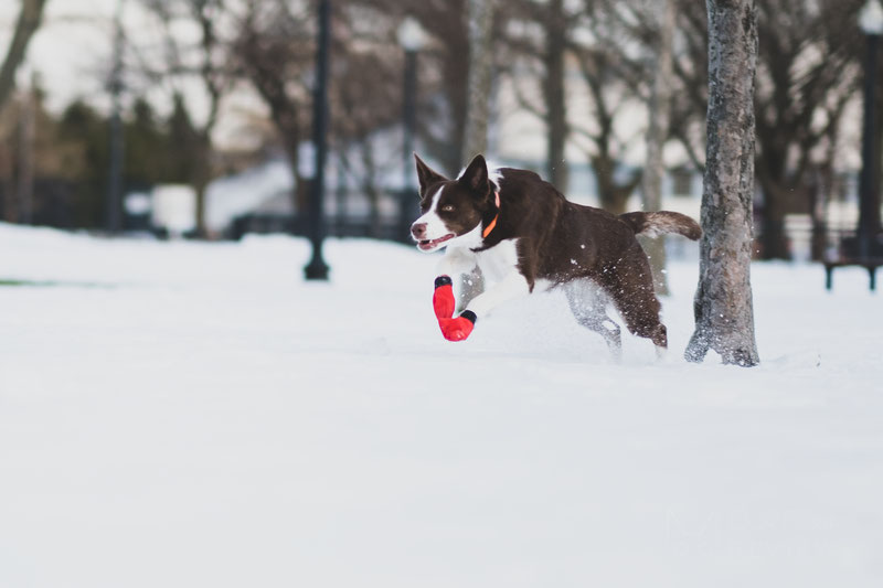 Does my dog need winter boots? How to choose one?   Dog Gear Review
