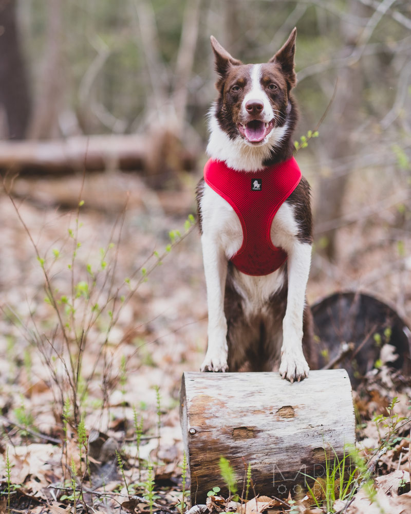 How to Choose a Well-Fitting Y-Harness for Your Dog | Dog Gear Review