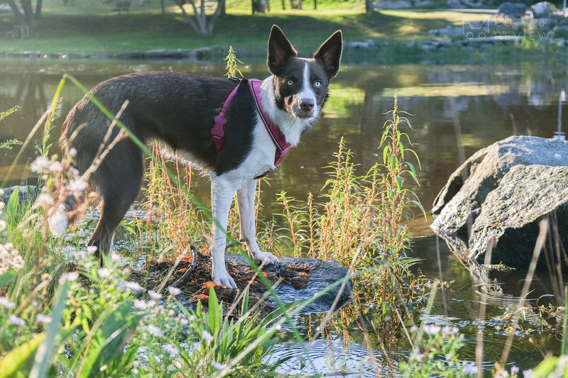 Didog Y-Front Harness Review | Dog Gear Review