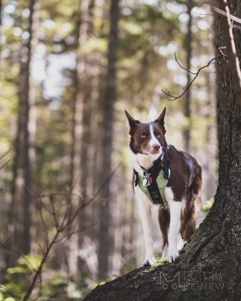 DUO 'American Eclipse' Adventure Dog Harness Review   Dog Gear Review