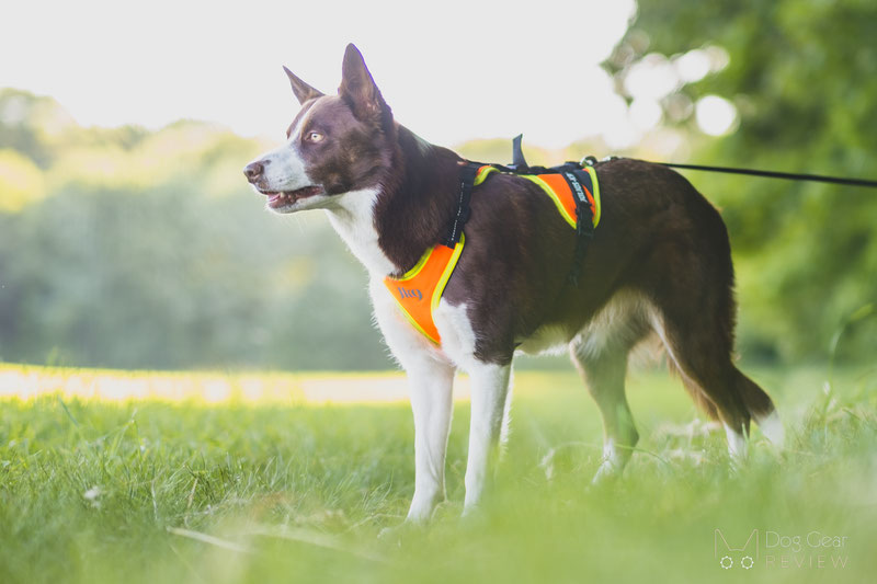 Julius-K9 Mantrailing Harness Review   Dog Gear Review