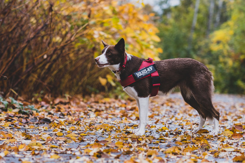 Julius-K9 IDC® Color & Gray Belt Harness Review | Dog Gear Review
