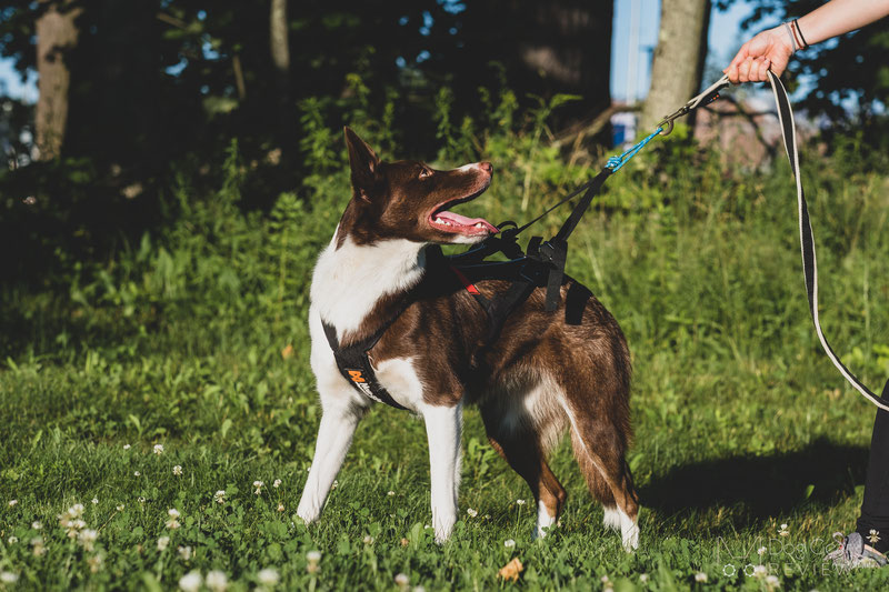 Non-stop Dogwear Freemotion Harness Review | Dog Gear Review