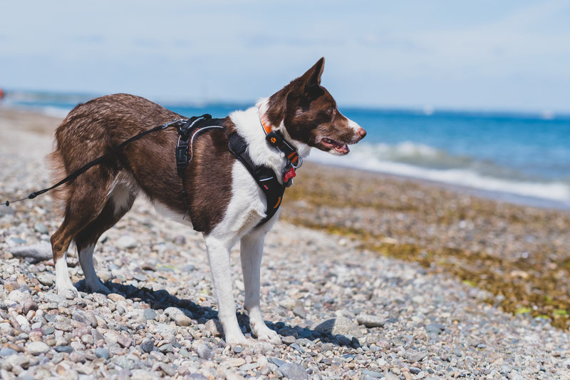 Non-stop Dogwear Rock Harness Review | Dog Gear Review