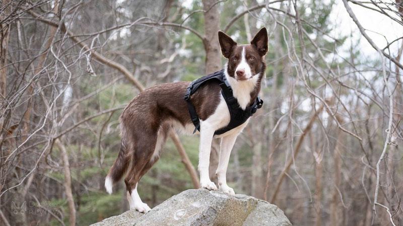 OneTigris Fire Watcher Harness Review | Dog Gear Review