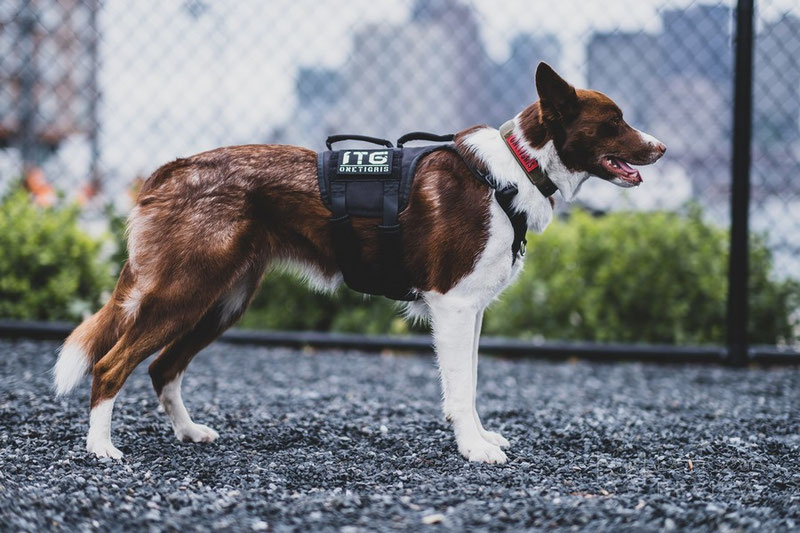 OneTigris Gladiator Support Harness Review | Dog Gear Review