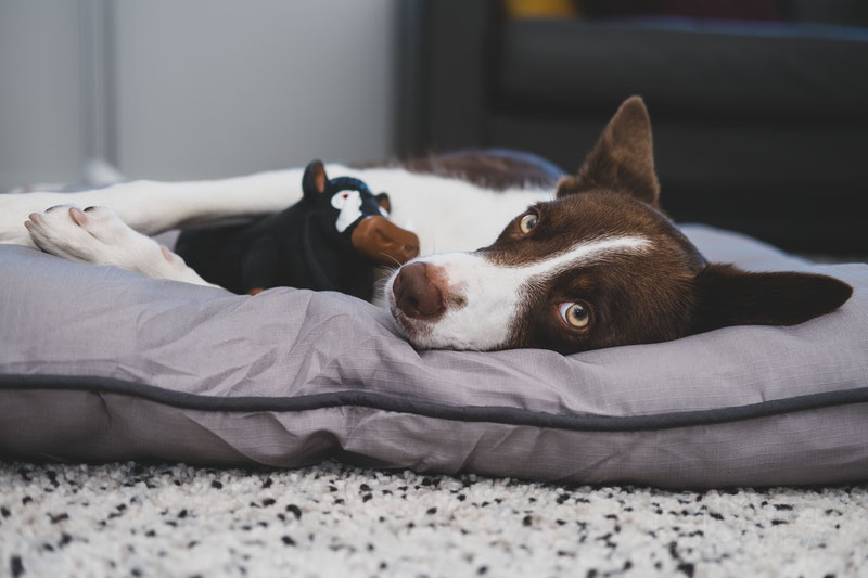 Pet Craft Supply Super Snoozer Bed Review | Dog Gear Review